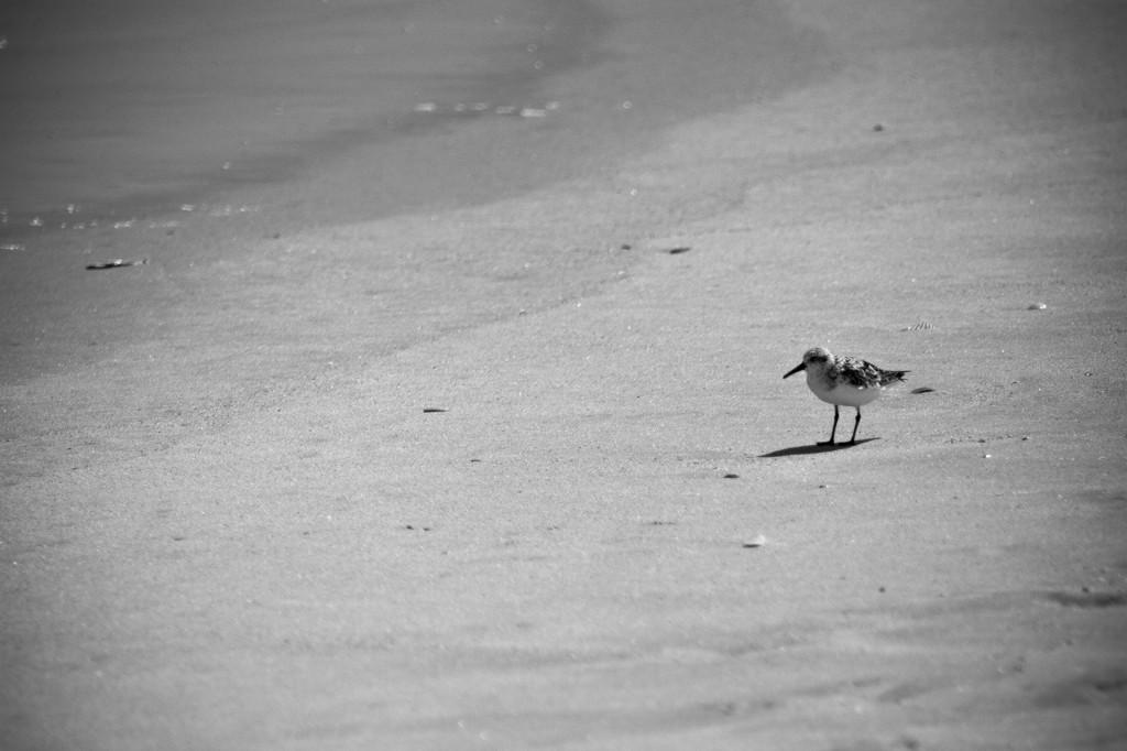 Lone Sanderling