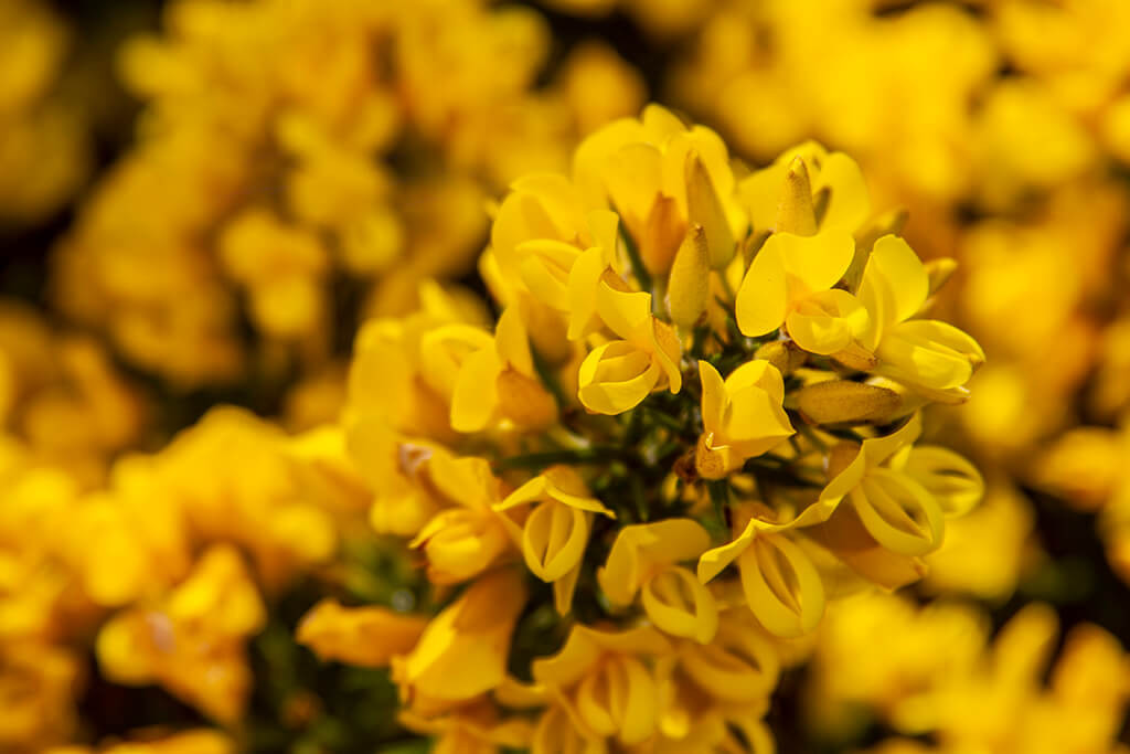 Scottish Gorse