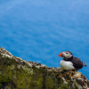 Skellig Michael: More Puffins!