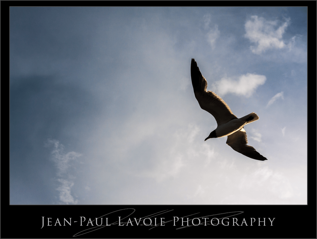 Laughing Gull Soaring