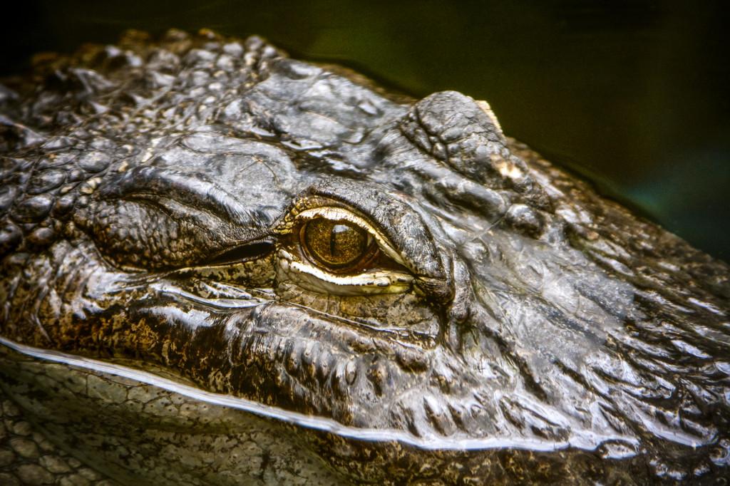 Alligator Eye
