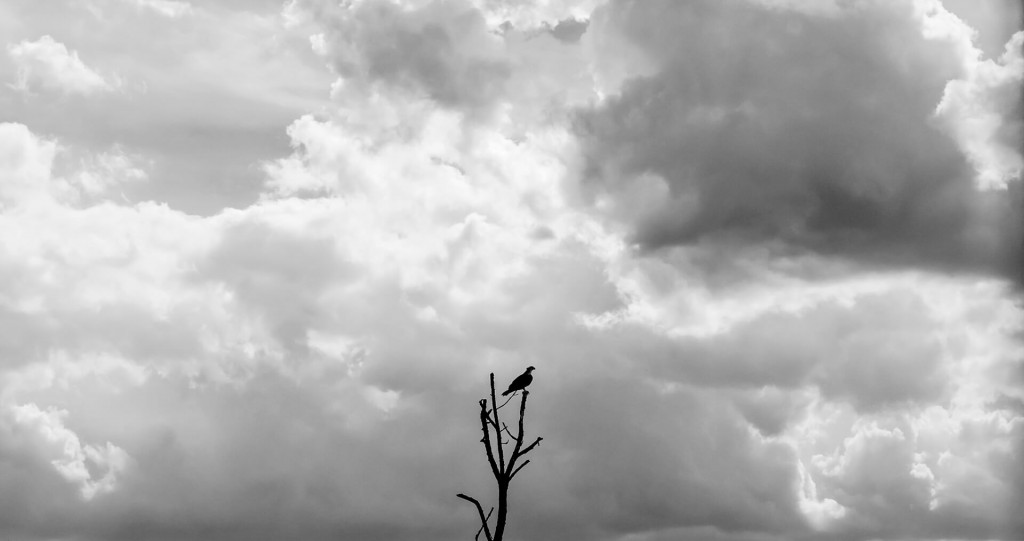 Osprey Among the Clouds