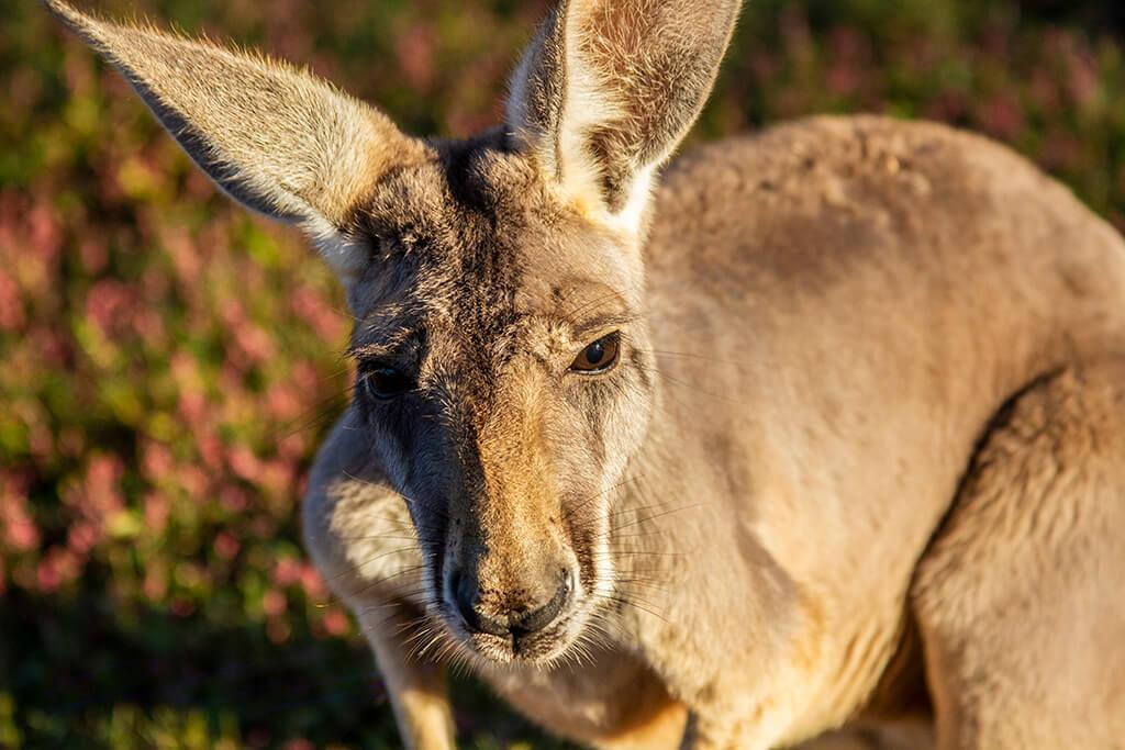 Lazy 5 Ranch: Kangaroo